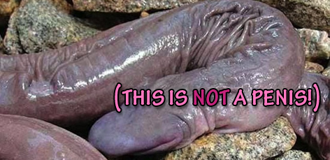Atretochoana eiselti amphibian